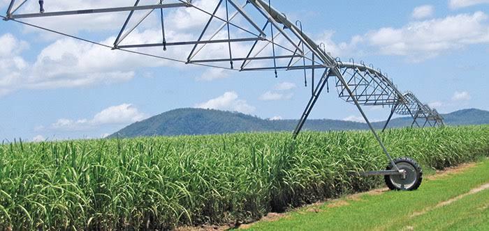 Sugar cane 6