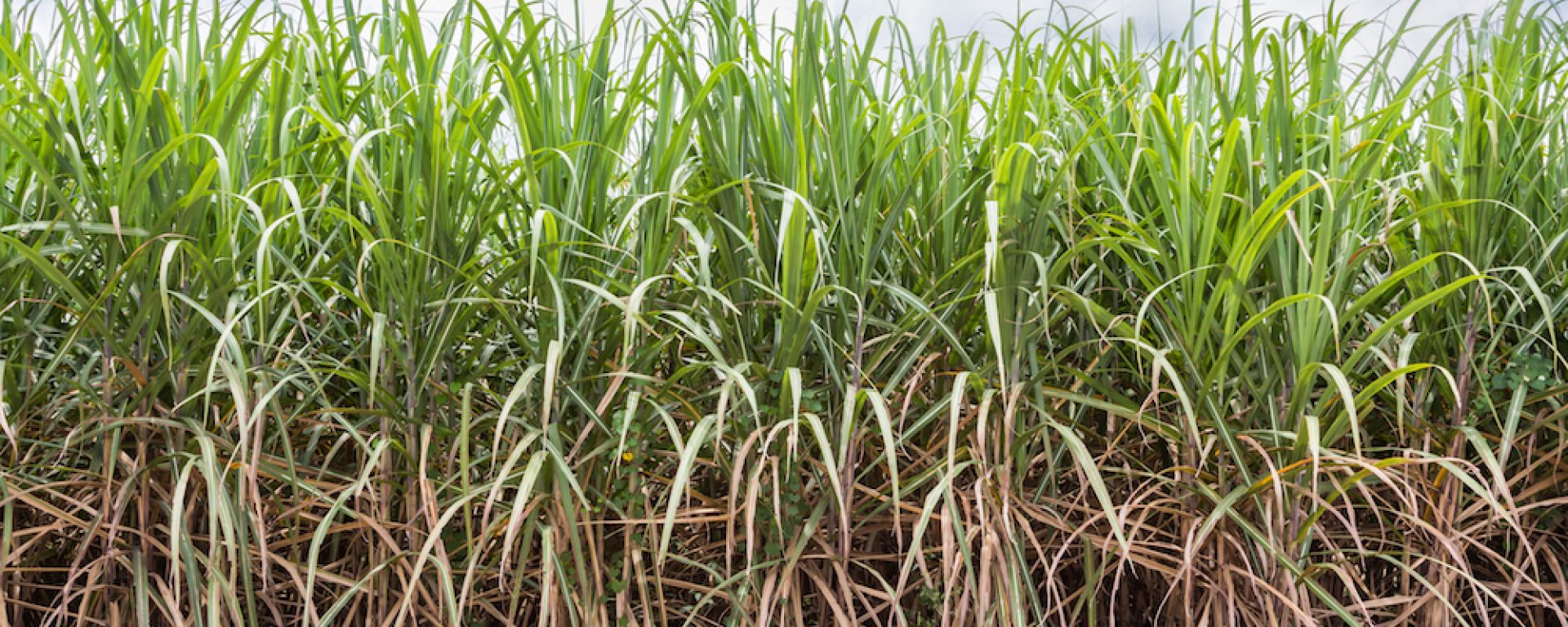 Sugarcane 2